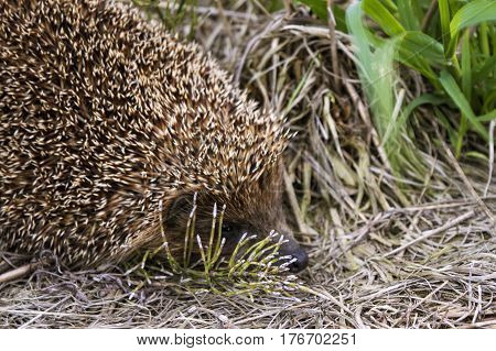 the hedgehog wants to hide in the grass