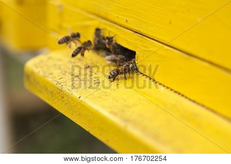 black bees moving into a yellow beehive