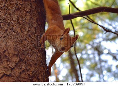 Squirrel on a pine tree in the Siberian forest Novosibirsk.
