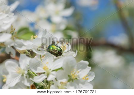Green Rose chafer on a white apple flower close-up poster