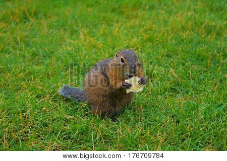Gopher eating cookies on the green field Republic of Altai Siberia Russia