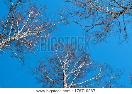 Birch without leaves on the clear blue sky background. Central Siberian Botanical Garden Akademgorodok Novosibirsk Russia. March 2017.