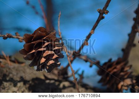 Larch Cones On A Branch On Sky Background. Central Siberian Botanical Garden, Akademgorodok, Novosib