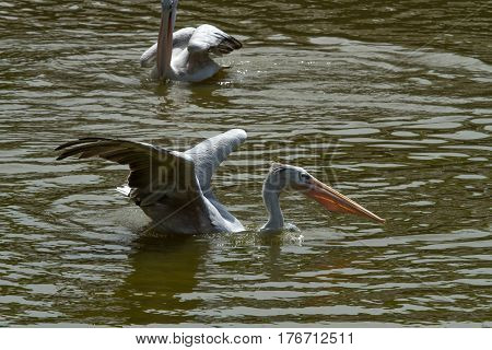 photo of a feeding Pink backed Pelican with another in the background