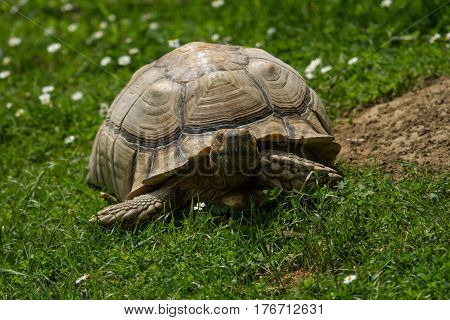 photo of a Spur-thighed Tortoise walking on grass while looking up
