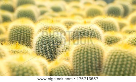 Cactus and house plant garden concept - Close up many of golden cactus in cactus farm with day light and copy space