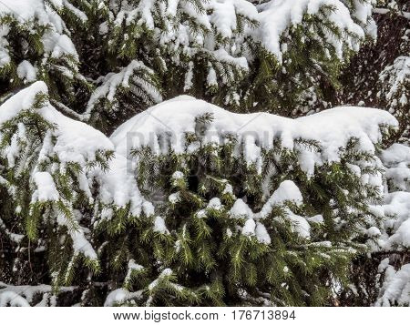 Branch of spruce covered with fresh snow