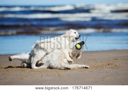 golden retriever dog playing with a puppy on a beach