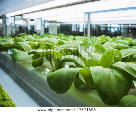 Greenhouse Vegetables Plant row Grow with Led Light Indoor Farm Agriculture Technology