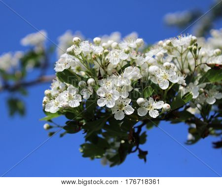The beautiful white blossom of Crataegus monogyna better known as common Hawthorn or quick thorn, against a background of blue sky.