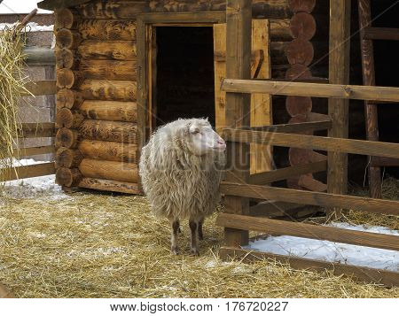 Long- haired sheep in a pen near wooden barn