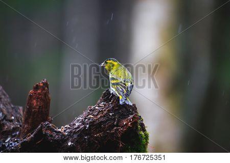 Blue Tit Bird Close-up