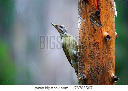 Gray-headed Woodpecker In A Rainy Spring Forest