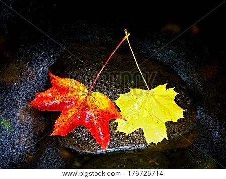 Two Colors Leaf. Bright Red Orange Autumn Maple Leaf
