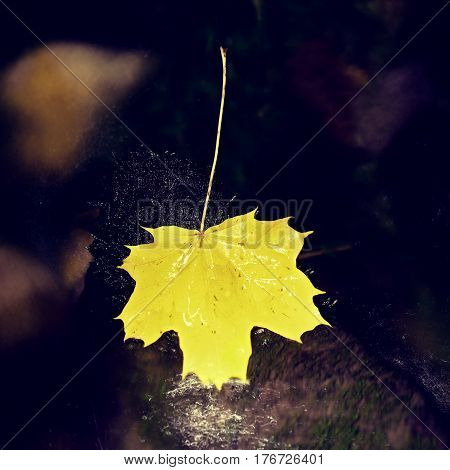 Yellow Maple Leaves Lay On Stone In River. Fallen Leaves