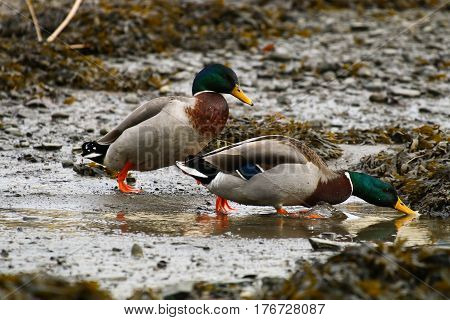 A pair of Mallard drakes on a tidal mud flat