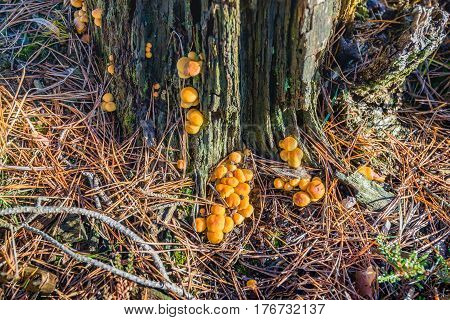 Closeup of spherical orange mushrooms on the bark of a dying pine tree.