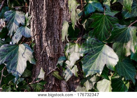 Beautiful wild ivy on tree bark in the park. Ivy is weaving on wood.