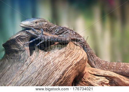 Very rare animal endemic of Varan Makreya close-up