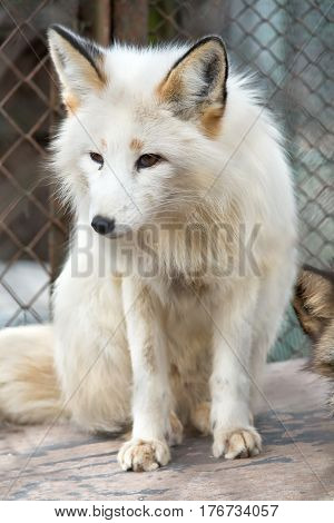 A little white fox-cub in a cage