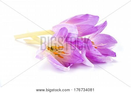 Flower Colchicum gorgeous isolated on white background