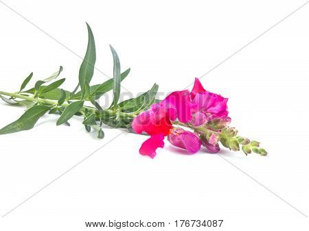 Snapdragon flower isolated on a white background