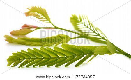 tamarind leaves on white background seed, sweet, tamarind, tropical, vegetable, white