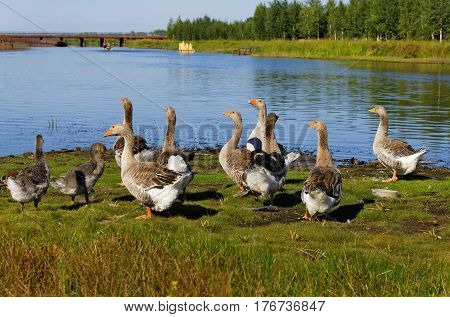 Gray geese on the banks of the Sogom River Ugra Russia
