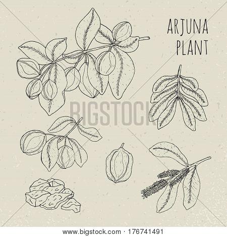 Arjuna, medical botanical ayurvedic tree, Plant, fruit, flowers, bark, leaves hand drawn set. Vintage contour isolated illustration