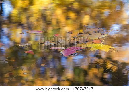Autumn Background Season Change Concept several fallen leaves floating in rain puddle with colourful reflection of sky and trees