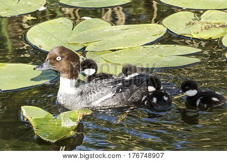 Wild Duckling On Lily, Closeup, Summer
