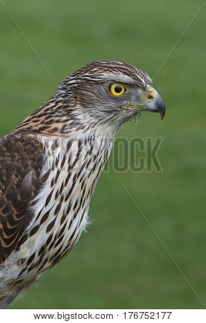 The profile of a raptor the Sparrowhawk