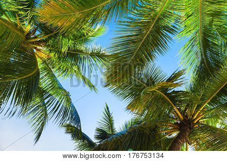 Coconut Palms Over Bright Sky