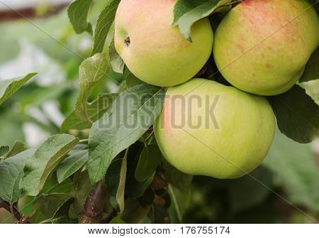 apple growing on tree. Apple orchard ripe fruits hanging on branch