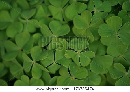 Beautiful clover leaves background shot in natural environment. Close-up.