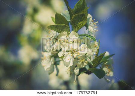 White Spring Blooming Trees Retro