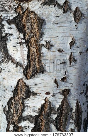 The texture of the tree bark of a birch. Black and brown cracks in the bark on a white background with stripes. Thick trunk.