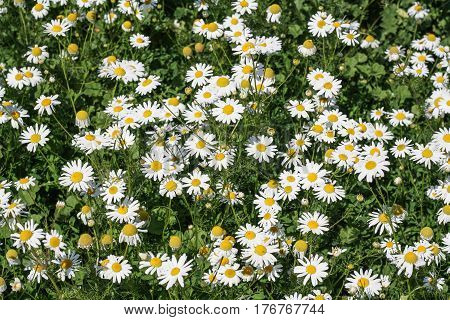 Chamomile field green grass summer or spring photo