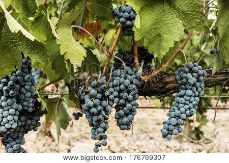 A photo of wine grapes hanging from a vine in a vineyard, just before the autumn harvest, slightly toned