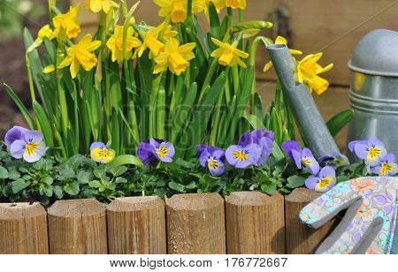 daffodils and viola bordering with watering can in and gloves a garden