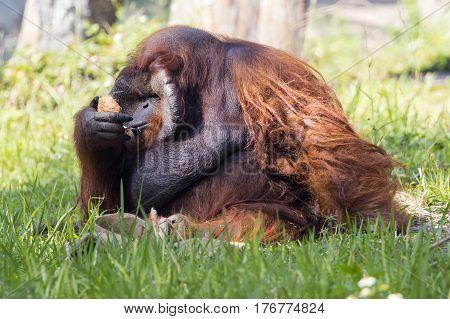 Image of a big male orangutan orange monkey on the grass. Wild Animals.