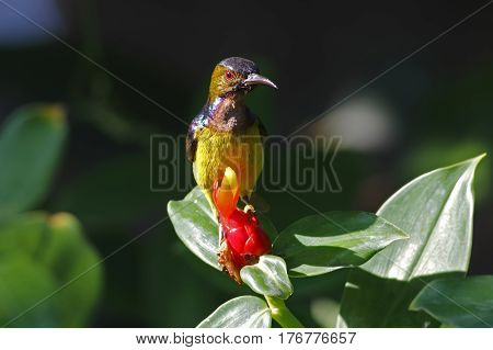Brown-throated Sunbird Anthreptes malacensis Male Cute Birds of Thailand