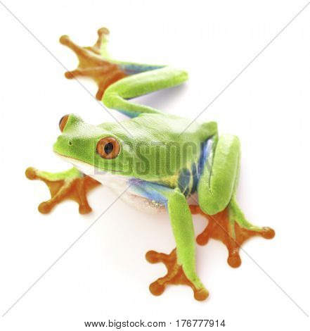 red eyed tree frog, Agalychnis callydrias from the tropical rain forest of Costa Rica isolated on a white background.