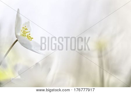 Wood anemone, white wildflower background with copy space