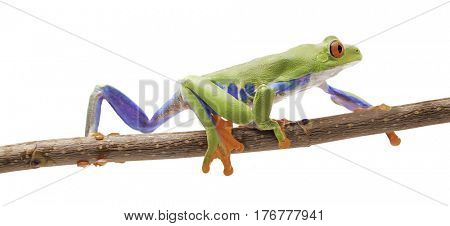Red eyed tree frog crawling on a twig isolated on white. A beautiful exotic animal from the tropical rain forest of Costa Ric.