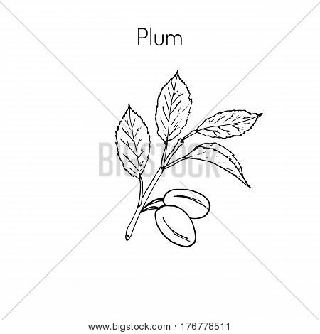 Plum branch with leaves and plums. Botanical vector illustration