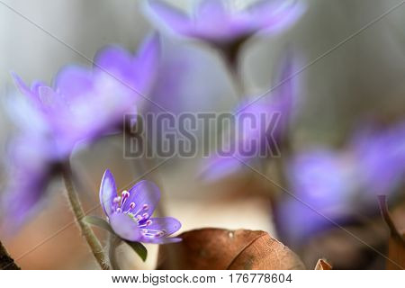 Blue spring wildflower liverleaf or liverwort, Hepatica nobilis. A delicate and fragile wild forest flower. Symbol for fragility soft focus image