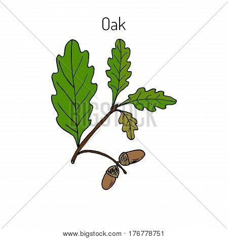 Oak branch with green leaves and acorns. Vector illustration