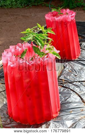 Water lined frost guards around tomato plants to give them an early start in the home garden.