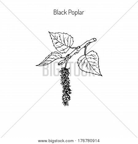 Populus nigra, black poplar. Hand drawn vector illustration